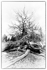 Spirit Tree (Wolfhorn) Tags: old tree nature alaska dead spring wilderness gnarled