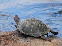 Turtle in the Sabie river (anacm.silva) Tags: africa wild nature southafrica nikon turtle wildlife natureza tartaruga krugernationalpark krugerpark kruger áfrica vidaselvagem áfricadosul sabieriver anasilva nikond40x