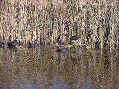 Water fowl, Lake Wallace at Wallerawang near Lithgow (Auntiebiga) Tags: lithgow lakewallace