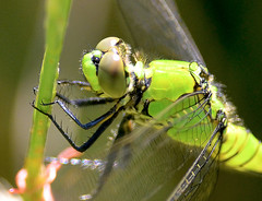 Eastern Pondhawk Dragonfly (jwinfred) Tags: macro nature mississippi nikon sigma insects delta cypress preserve greenville 150mm d5100