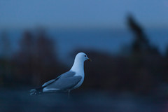 Seagull (Antti Tassberg) Tags: summer bird night suomi finland europe bokeh seagull eu scandinavia archipelago kes y lintu lokki commongull saaristo laruscanus mewgull kalalokki skrubb commonmew skrobban storamickelskren