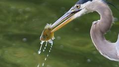 GBH (miguelcelis) Tags: fish nikon soe greatblueheron collierville d300 gbh animalkingdomelite