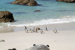 African penguins, Boulders (flowcomm) Tags: southafrica penguin penguins capetown boulders bouldersbeach africanpenguins