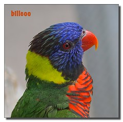 Lorikeet (*billcoo*) Tags: sanantonio zeiss zoo bokeh sony lorikeet parrot 24mm f18 18 za borderfx