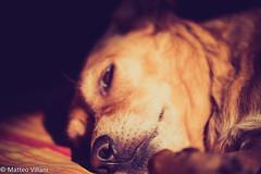 Sleeping (Matteo Villani) Tags: dog cane lomo musa canonef70200f4l canoneos5dmkii