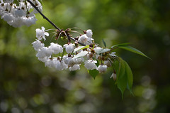 Delicate white cherry blossoms (Monceau) Tags: white cherry blossoms kensingtongardens delicate