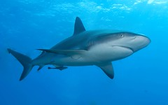 Reef Shark (Stephen Taubman) Tags: shark