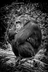Not Playing... (Brookshaw Photography) Tags: zoo chimp amp chester ape chimpanzee chesterzoo bampw quotblack whitequot quotgreat apequot