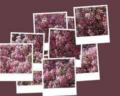 Central Experimental Farm Crabapple Tree Blossoms Hockney Effect (Chrisser) Tags: flowers trees ontario canada nature fruit garden spring fdsflickrtoys gardening ottawa fourseasons closeups crabapples rosaceae hockneyized centralexperimentalfarm canonefs1855mmf3556islens canoneosrebelt1i