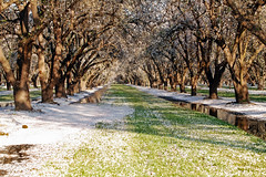 Orchard_4377-1 (jbillings13) Tags: california landscapes farming almond orchard orchards kerncounty almondorchard