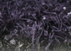 (Lily Perris) Tags: white black flower film woods dust bluebell praktica hairs bc1