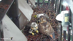 EZ sits with young (Cornell Lab of Ornithology) Tags: red bird big nest cams cornell hawks redtailedhawk nestlings labofornithology cornelllabofornithology birdcams