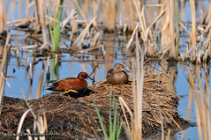 Cinnamon Teals DSC_7999 (Ronaldok) Tags: canada bird nature birds fauna duck nikon teal cinnamon ducks alberta cinnamonteal anascyanoptera southernalberta d300s globalbirdtrekkers ronaldok ornithilogy nikond300s
