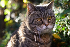 periwinkle (a-e-m-e) Tags: winter tree green leaves gardens cat garden afternoon tabby sunny trunk fatcat peppertree