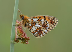 Small Pearl-bordered Fritillary (nick edge) Tags: macro butterfly bokeh wildlife butterflies wiltshire fritillary smallpearlborderedfritillary bentleywood boloriaselene