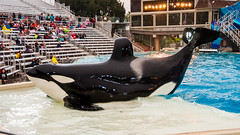 Fabulous Ulises on the Slideout (lolilujah) Tags: world ocean show california ca sea train swimming one aquarium jumping stadium sd soak orca splash captive seaworld shamu trainer zone captivity splashing cetacean trained blackfish lolilujah