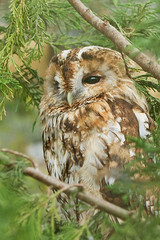 tawny owl (Neptuno.Photography) Tags: wildlife centre owl british tawny