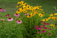 Summer Flowers (Eric Hunt.) Tags: orange flower purple echinacea coneflower rudbeckia asteraceae blackeyedsusan purpleconeflower echinaceapurpurea