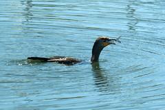 cormorant_1b (brendec7) Tags: fish lunch florida sarasota cormorant sarasotabay brendareamy