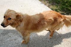 IMG_2934 (VIPevent) Tags: bitzi serbien kettenhund