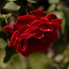 pour vous, une rose de mon jardin! (Martha M G Raymundo) Tags: red flower nature rose square belle lejardindesdélices marthamgr fleursetpaysages rès magaleriespéciale