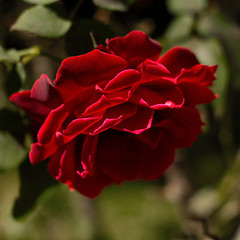pour vous, une rose de mon jardin! (Martha MGR) Tags: red flower nature rose square belle lejardindesdlices marthamgr fleursetpaysages rs magaleriespciale