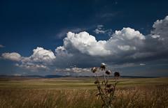Blue Sky and White Clouds (Kim Tashjian) Tags: blue sky grass clouds montana thistle grain far highway89