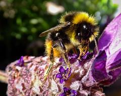 05 (1 of 1) (Ally63 - Ian Allington) Tags: bees