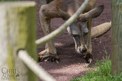 Lehigh Valley Zoo - Kangaroo (Chris Adval) Tags: lighting chris light usa nature animal photoshop canon outside outdoors photography zoo shoot natural pennsylvania pa adobe kangaroo valley ambient 28 dslr tamron productions 70200 lehigh lightroom 550d cs5 t2i adval lightroom4
