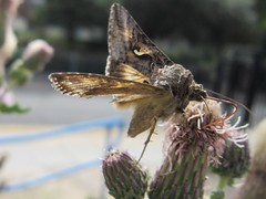 Moth (LookaroundAnne) Tags: wildlife norfolk moth yarmouth greatyarmouth