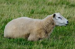 Sheep (davep90) Tags: park nikon sheep cheshire 300mm national trust f4 tatton knutsford d7000 davep90