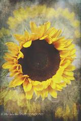 Sunflower (SpiritStar) Tags: summer brown plant flower colour green nature yellow vertical petals blossom seeds sunflower flowerhead singleflower vibrantcolour brightcolour