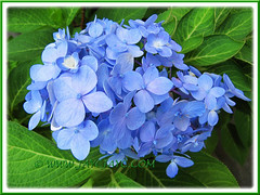 Blue Hydrangea macrophylla blooms year round in our garden (jayjayc) Tags: flowers blue plants malaysia kualalumpur shrubs hortensia tropicalgarden bigleafhydrangea mopheadhydrangea frenchhydrangea jjsgarden jayjayc hydrangeamacrophylla'endlesssummer'