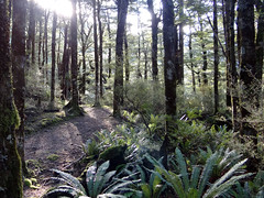 Swamp Track (Home Land & Sea) Tags: trees newzealand spring track nz bushwalk pointshoot sonycybershot lateafternoonsun ruahineranges centralhawkesbay swamptrack homelandsea dschx100v
