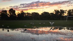 After the Deluge [Explore April 23, 2015 #369] (Mariasme) Tags: iphone ibis reflections sunset water urbanwildlife birds grass matchpointwinner t627