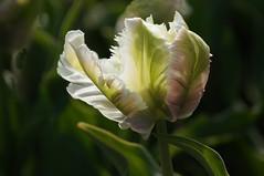 Tulpenmanie-tulipmania 7 [explored] (Evanhoe) Tags: flower holland netherlands fleur tulip blume niederlande tulpe bloem tulp explored