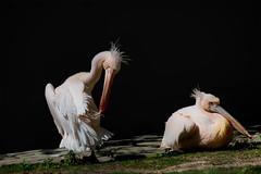 Pelikane (Jutta M. Jenning) Tags: fauna tiere wasser rosa fluegel gross pelikan tier schnabel pflege feder wasservogel pelikane gefieder wasservoegel pelicanus standvogel ruderfuesser dedern standvoegel