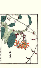 Rangoon creeper (Japanese Flower and Bird Art) Tags: flower art japan japanese book picture creeper woodblock nihonga rangoon indica kono combretaceae quisqualis readercollection bairei