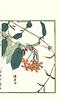 Rangoon creeper (Japanese Flower and Bird Art) Tags: flower art japan japanese book picture creeper woodblock nihonga rangoon indica kono combretaceae quisqualis readercollection bairei