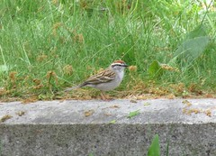 Chipping Sparrow (spizella passerina) (mrm27) Tags: cambridge boston massachusetts sparrow mountauburncemetery chippingsparrow spizellapasserina spizella