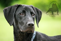 Bubba (Willow Creek Photography) Tags: black creek photography mix lab labrador retriever willow bubba