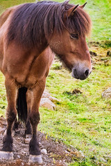 http://www.saatchiart.com/art/Photography-Icelandic-horse/783388/2478283/view (Dóra B.) Tags: life horse colour cute nature animal outside outdoors iceland pretty good earth easy lovely icelandic dorabirgis