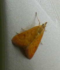 Crambid Snout Moth sp. (autrevie) Tags: bearcreekpark orangemoth crambidsnoutmoth harriscountytexas