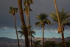 "Palm Trees, Furnace Creek Oasis (""Gray""scale2016) Tags: deathvalley panamintrange furnacecreek palmtrees birds"