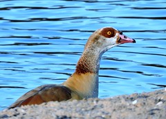 Egyptian goose (deannewildsmith) Tags: egyptiangoose bartonmarina goose bird earthnaturelife