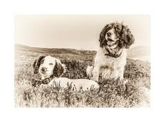 Mollie & Rupert (Missy Jussy) Tags: mollie rupert dogs pets springerspaniel spaniel englishspringer wales garndolbenmaen heather fields nationalpark sepia dogportrait dogwalk canon canonpowershotsx60