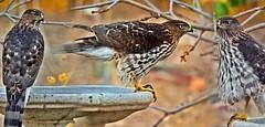 Bird Of Prey (A Political Kind Of Day!) Tags: theflickrlounge wk43 alphabetletter b bird hawk coopers birdofprey inthebackyard onthebirdbath waiting hunting large takenthroughthewindow