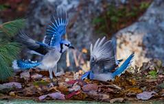 breakfast treats? (Nancy Rose) Tags: blue jays hungry wings flight leaves autumn searching 2365