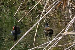 """Two Way Traffic"" (kostakai) Tags: anatidae duck nature creek marathon greece"
