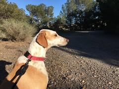(emed0s) Tags: kira cris dog greyhound